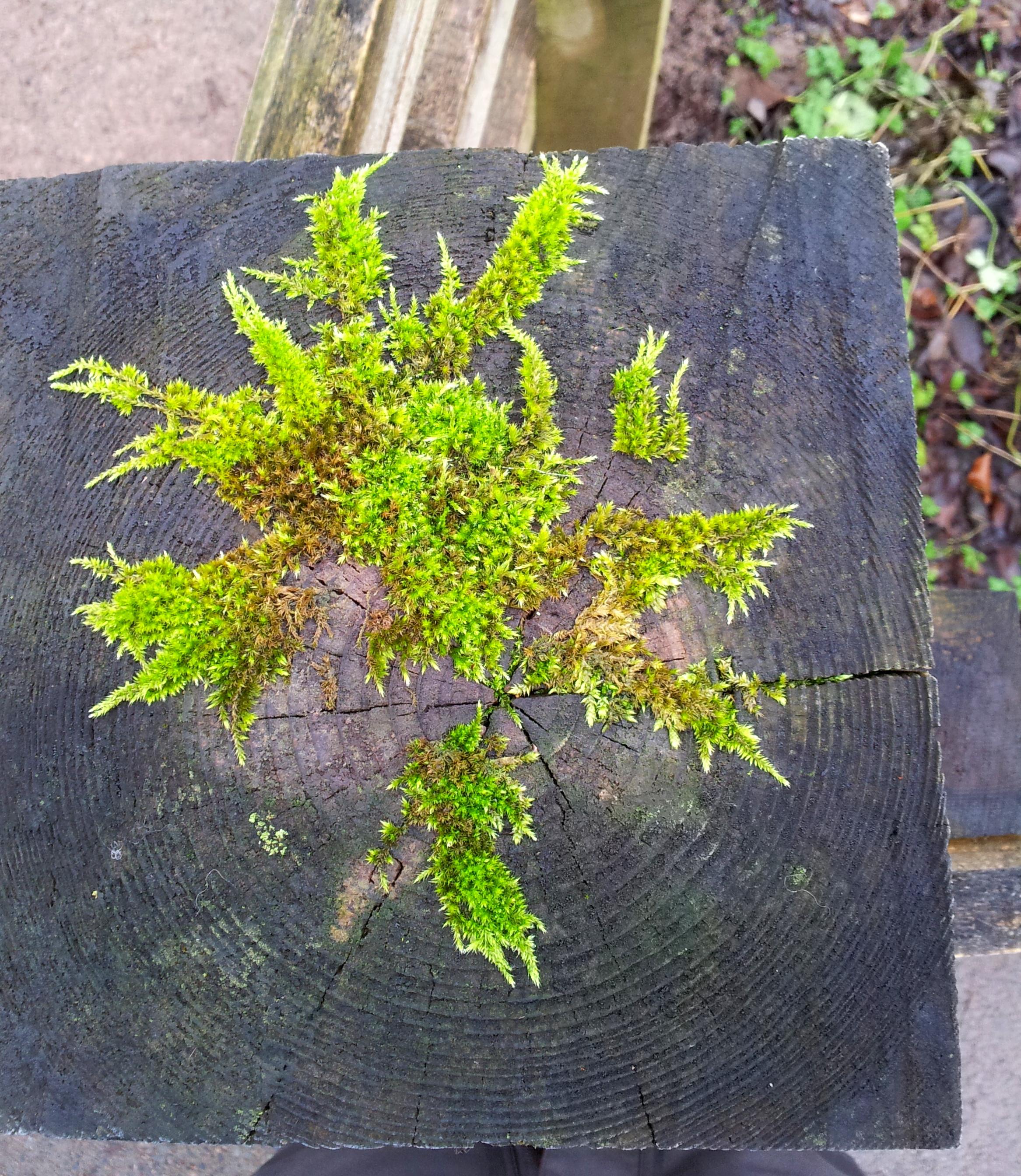 Moss Star