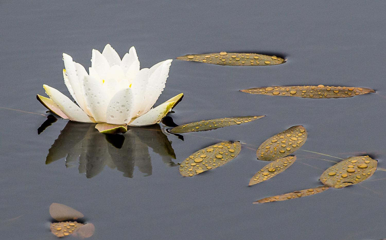 White Water-Lily - Shetland