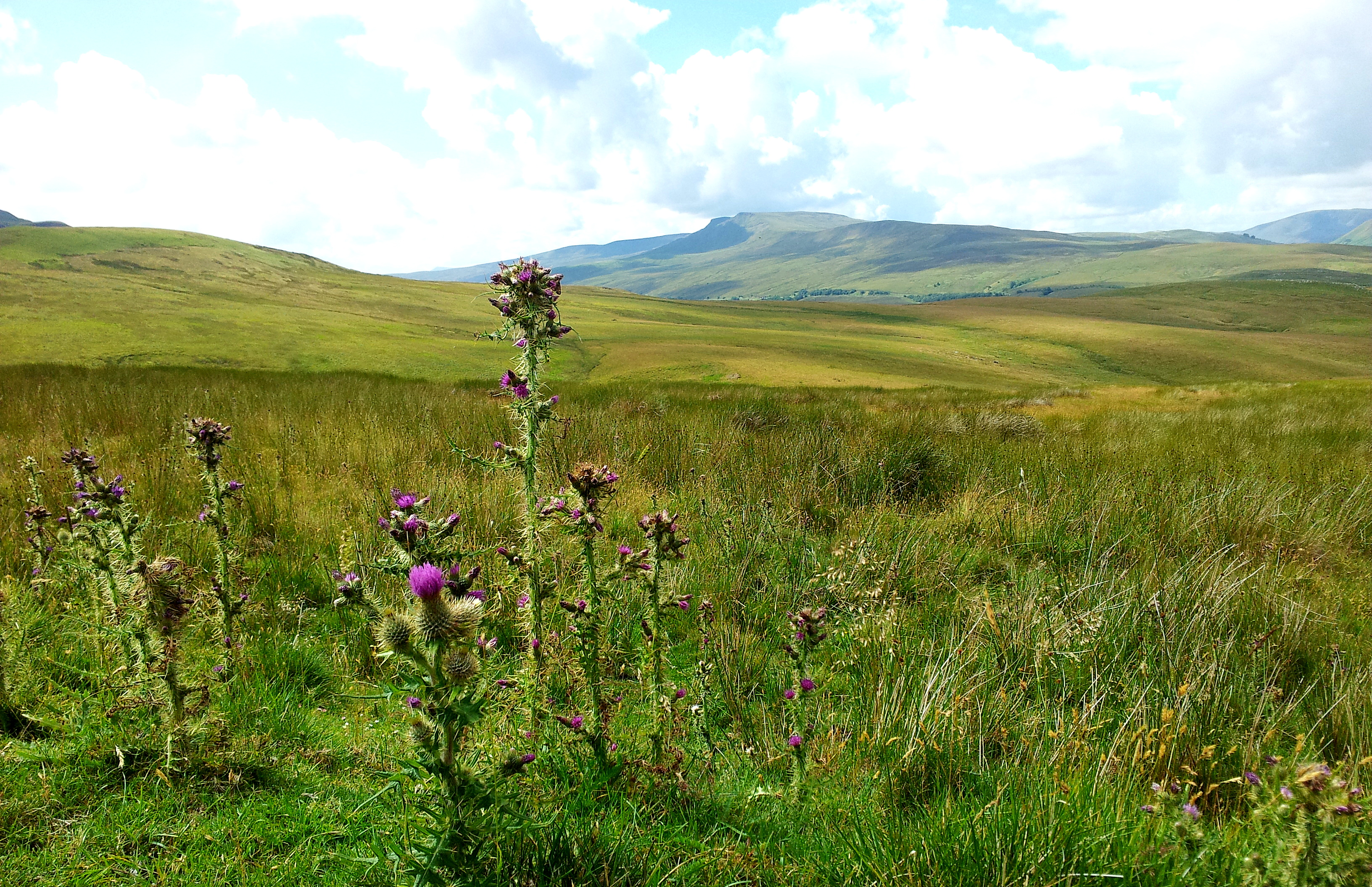 Wild Boar Fell with Thistle