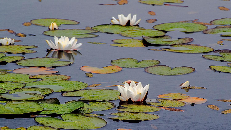 Lily pond, Shetland 2013