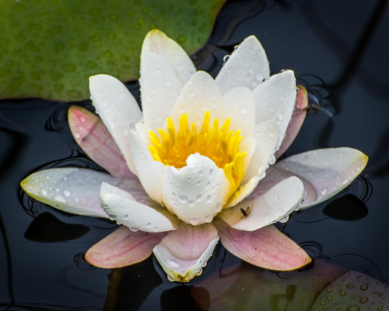 Water Lily - Shetland. 2013