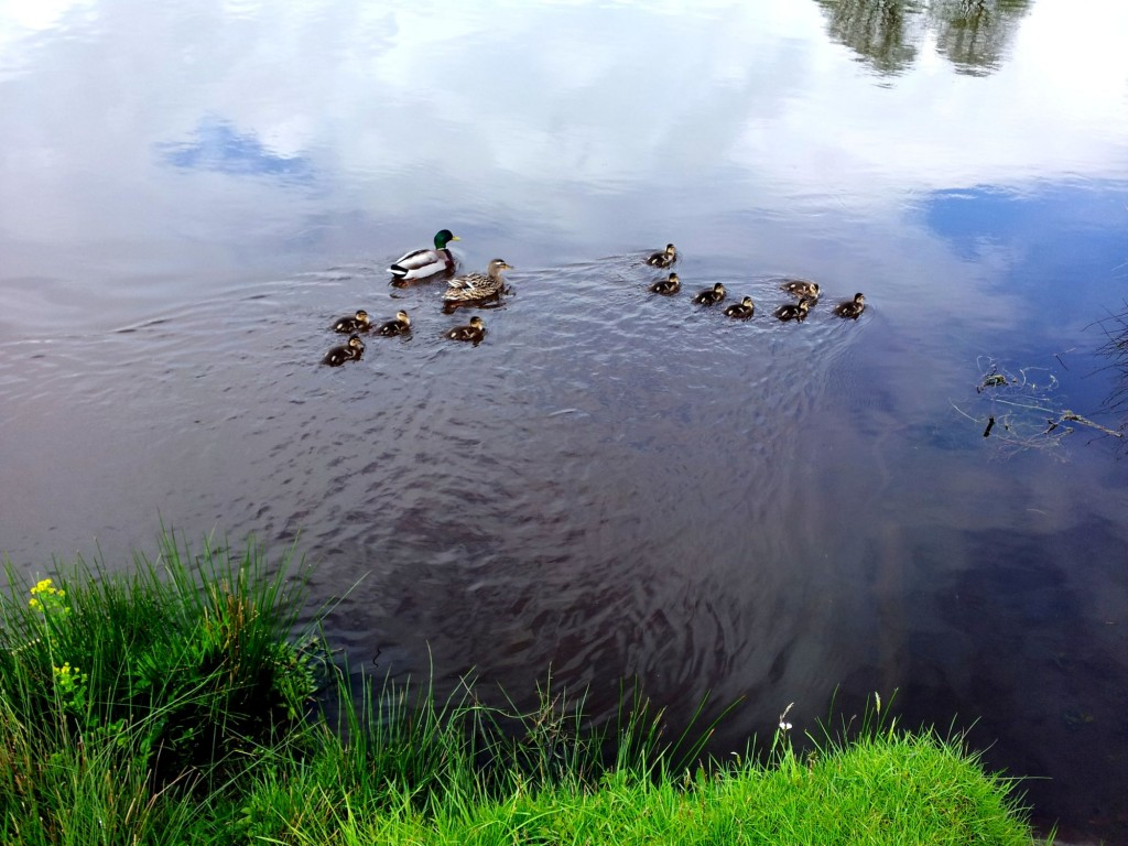Ducklings on Derwent