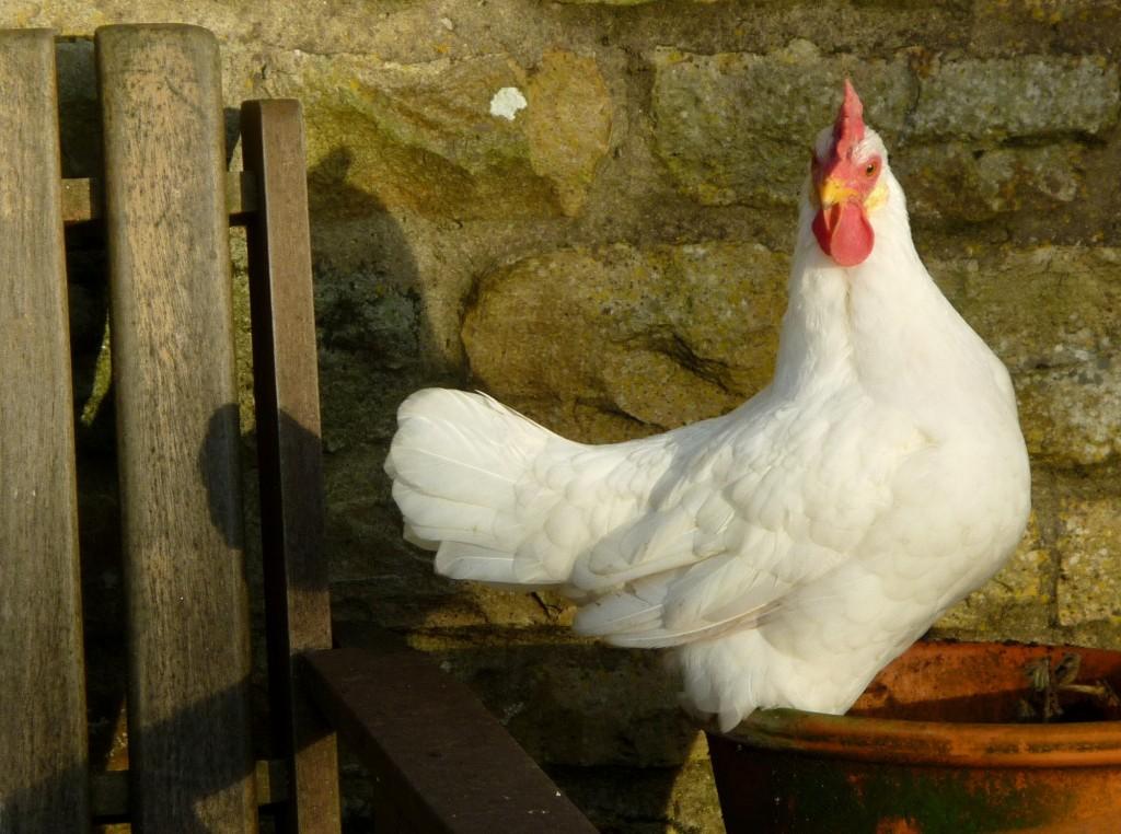 1White chicken