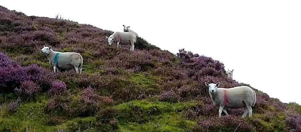 Sheep up high
