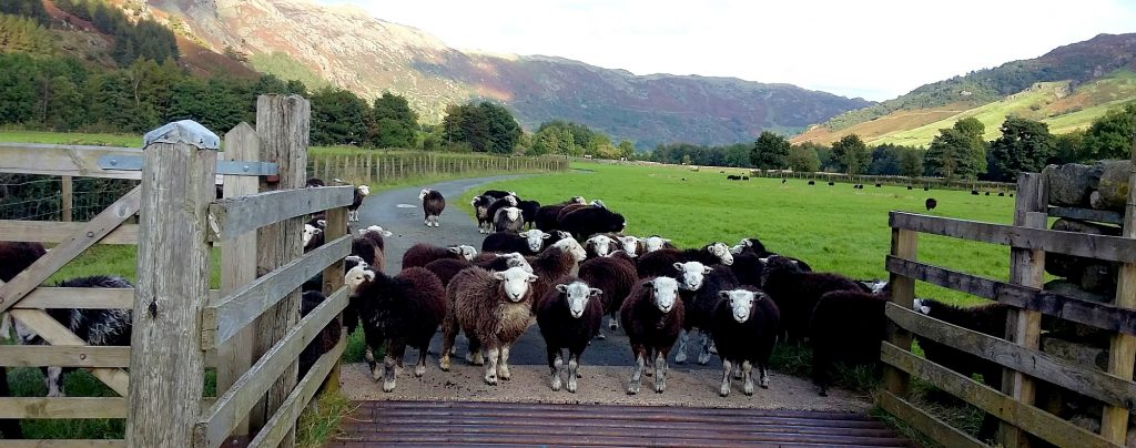 Herdwick Lambs meet cattle grid. Langdale Valley