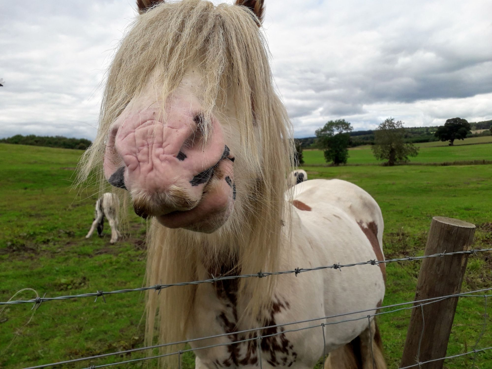 pony-nose