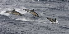 Common_Dolphins_0.jpg