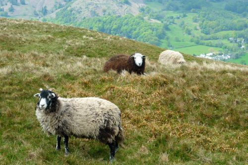 Herdwick_sheep_with_Grassmere.jpg