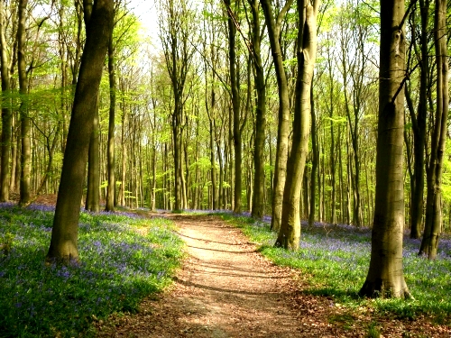 bluebell_woods1.jpg