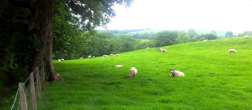 sheep_and_meadow1.jpg