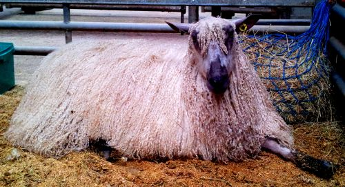 sheep_with_hair_extentions.jpg